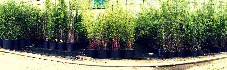 Bamboe veldhoven