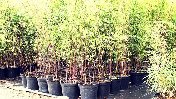bamboo plant kopen